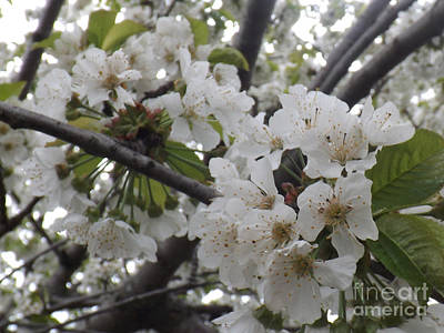 Photograph - Cherry Blossoms Branching Out by Brenda Brown