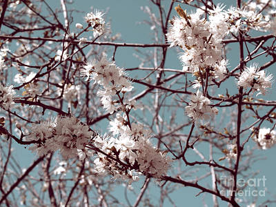 Photograph - Cherry Blossoms by Cindy Garber Iverson