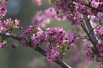 Photograph - Cherry Blossoms by Dale Kincaid