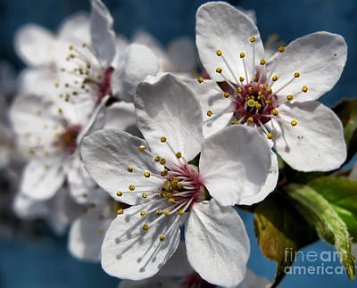 Photograph - Cherry Blossoms by Daliana Pacuraru