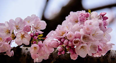 Photograph - Cherry Blossoms Finally by Kathi Isserman