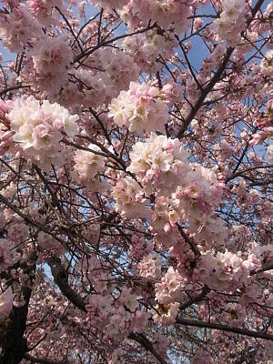 Photograph - Cherry Blossoms For Lana by Emmy Marie Vickers