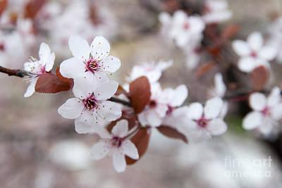 Cherry Blossoms Art Print by Hannes Cmarits