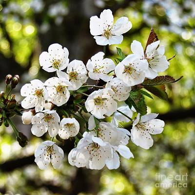 Photograph - Cherry Blossoms  by Helen  Campbell