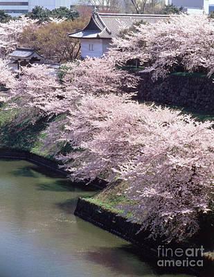 Rosaceae Photograph - Cherry Blossoms by Hiroshi Harada