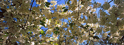 Riverside Park Photograph - Cherry Blossoms In Bloom, Riverside by Panoramic Images