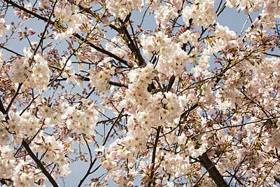 Photograph - Cherry Blossoms In Georgia II by Penny Lisowski