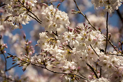 Photograph - Cherry Blossoms In Georgia by Penny Lisowski