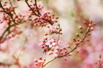 Photograph - Cherry Blossoms In Spring by Peggy Collins