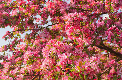 Cherry Blossoms In Washington D.c. Art Print