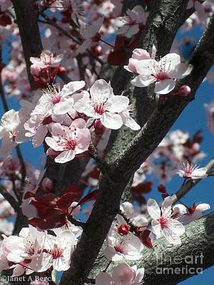 Cherry Blossoms Art Print by Janet Berch