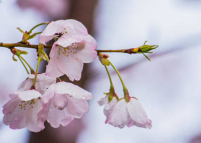 Cherry Tree Photograph - Cherry Blossoms by Jon Woodhams