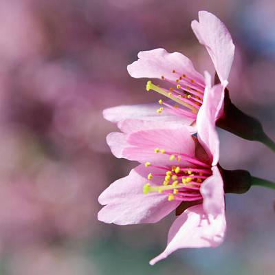 Photograph - Cherry Blossoms by Joseph Skompski
