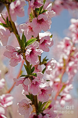 Photograph - Cherry Blossoms by Kelly Black
