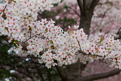 Photograph - Cherry Blossoms by Leah Palmer