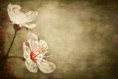 Photograph - Cherry Blossoms by Meirion Matthias
