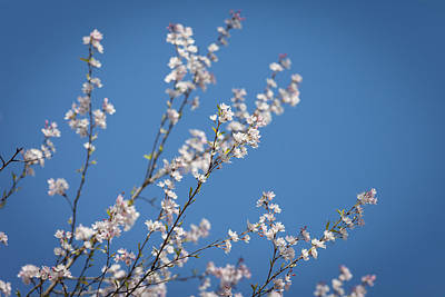 Photograph - Cherry Blossoms by Melinda Fawver