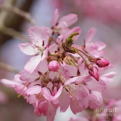 Photograph - Cherry Blossoms by Rudi Prott