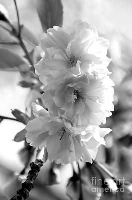 Photograph - Cherry Blossoms  by Sarah Schroder