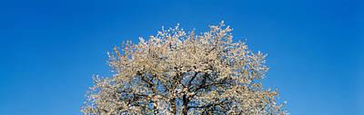 Cherry Blossoms, Switzerland Art Print by Panoramic Images
