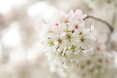 Flower Photograph - Cherry Blossoms - Washington Dc - 0113101 by DC Photographer