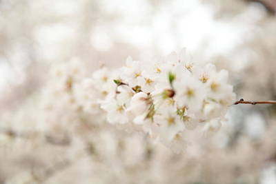 Outside Photograph - Cherry Blossoms - Washington Dc - 0113109 by DC Photographer
