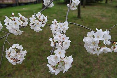 Cherry Blossoms - Washington Dc - 0113116 Art Print by DC Photographer