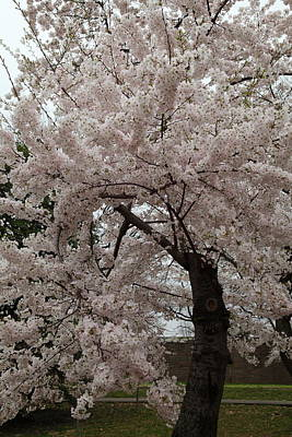 Cherry Blossoms - Washington Dc - 0113118 Print by DC Photographer