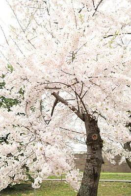 Travel Photograph - Cherry Blossoms - Washington Dc - 0113119 by DC Photographer