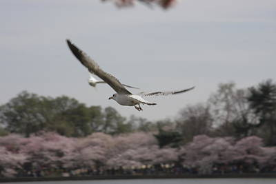 Cherry Photograph - Cherry Blossoms - Washington Dc - 011312 by DC Photographer
