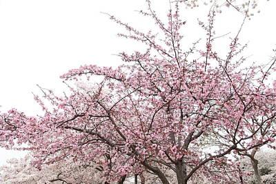 Flower Photograph - Cherry Blossoms - Washington Dc - 0113123 by DC Photographer