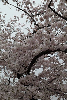 Patriotic Photograph - Cherry Blossoms - Washington Dc - 0113126 by DC Photographer