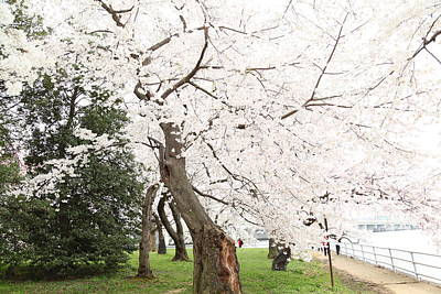 Soft Photograph - Cherry Blossoms - Washington Dc - 0113135 by DC Photographer