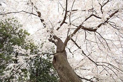 Cherry Blossoms - Washington Dc - 0113136 Art Print by DC Photographer