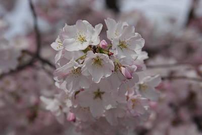 Cherry Blossoms - Washington Dc - 011323 Art Print by DC Photographer