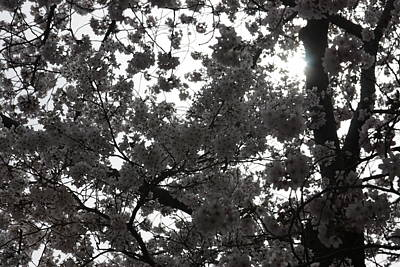 White Photograph - Cherry Blossoms - Washington Dc - 011332 by DC Photographer