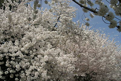 Flower Photograph - Cherry Blossoms - Washington Dc - 011340 by DC Photographer
