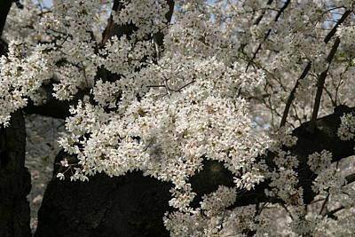 Flower Photograph - Cherry Blossoms - Washington Dc - 011343 by DC Photographer
