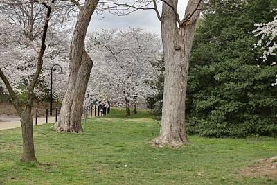 Floral Photograph - Cherry Blossoms - Washington Dc - 011349 by DC Photographer