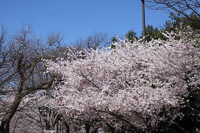 Japan Photograph - Cherry Blossoms - Washington Dc - 01135 by DC Photographer