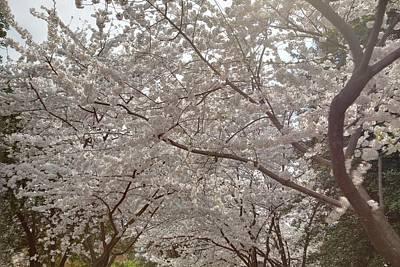 Cherry Blossoms - Washington Dc - 011363 Art Print by DC Photographer
