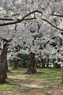 Cherry Blossoms - Washington Dc - 011383 Art Print by DC Photographer