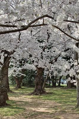 Photograph - Cherry Blossoms - Washington Dc - 011384 by DC Photographer