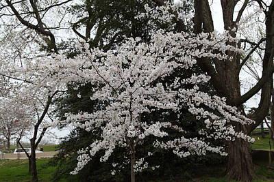 Dc Photograph - Cherry Blossoms - Washington Dc - 011398 by DC Photographer