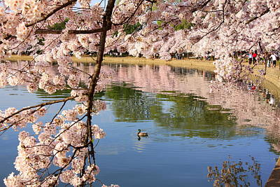 Photograph - Cherry Blossoms With Duck by Anne Barkley