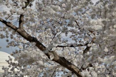 Tidal Photograph - Cherry Blossoms With Jefferson Memorial - Washington Dc - 011332 by DC Photographer