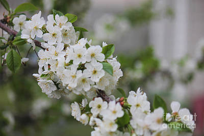 Photograph - Cherry Branch White Blossoms by Donna Munro
