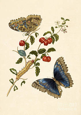 Photograph - Cherry Branch With Achilles Morpho by Getty Research Institute