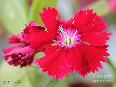 Painting - Cherry Dianthus From The Floral Lace Mix by J McCombie