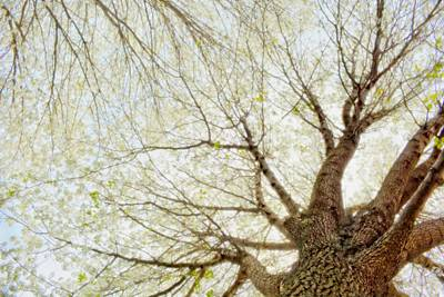 Tree Photograph - Cherry Dreams by Emily Stauring